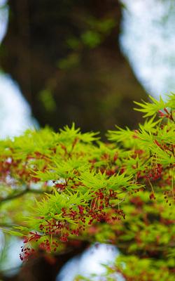 春の紅葉(もみじ)