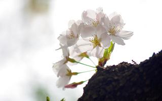 桜の写真2011一枚目