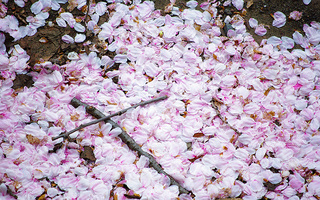 桜の写真2011二枚目