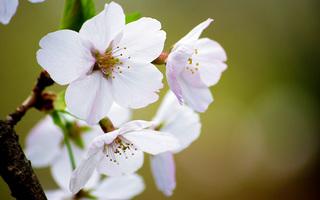 桜の写真4枚目