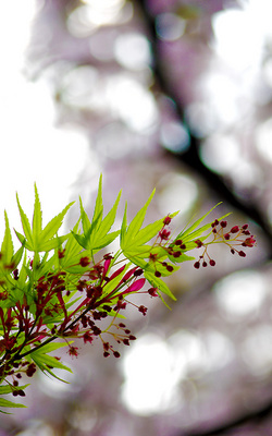 春の紅葉(もみじ)二枚目